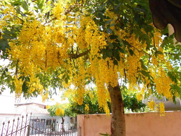 Acácia-amarela Acácia-amarela é uma árvore ornamental cujo fruto em forma de vagem se forma entre os meses de julho e dezembro. Ela pode crescer até 2 m e também possui espinhos. Logo é ótima para ser utilizada como cerca viva. Wikipédia