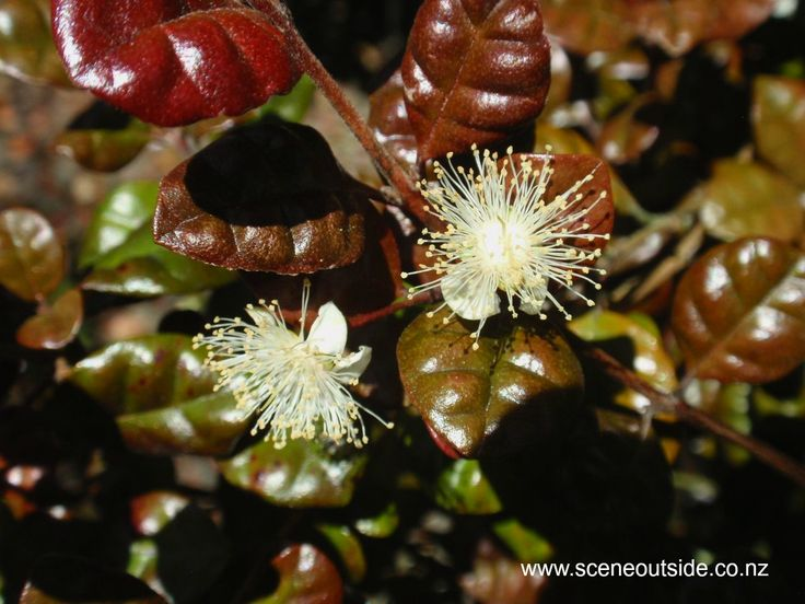 Lophomyrtus x ralphii 'Kathryn' flowers in December in New Zealand. Read more in the plant guide of my website http://www.sceneoutside.co.nz