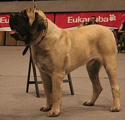 """El Mastín inglés es una raza grande de perro moloso de tipo dogo6 7 .    En el siglo XVIII se le describió de esta forma: """"Lo que el león es para un gato, así es el Mastín comparado con un perro."""""""