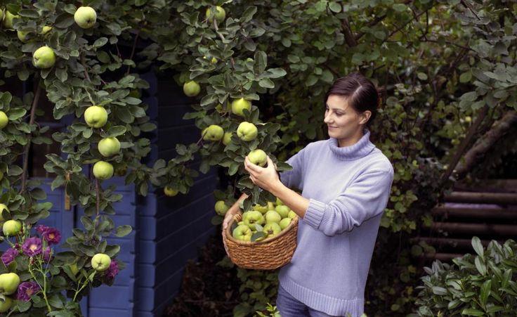 Wenn die Früchte sich gelb färben und der Belag sich gelöst hat, ist es Zeit für die Quittenernte