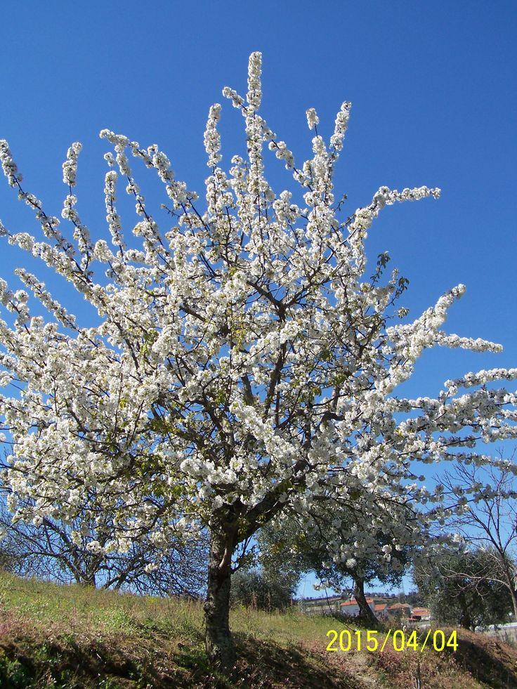 Cerejeira em céu azul