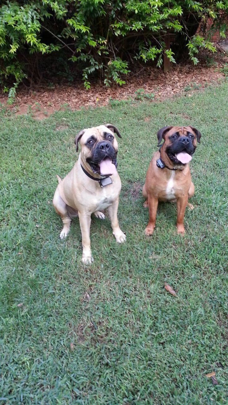 18 best big puppy images on pinterest bullmastiff dog breeds keema and olivia my two favorite girls bullmastiffs nvjuhfo Images
