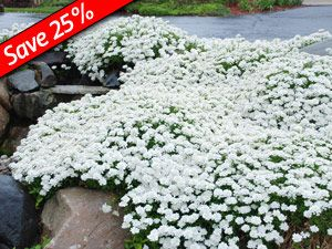 Drought tolerant evergreen ground cover iberis taho is a for Fast growing drought tolerant trees