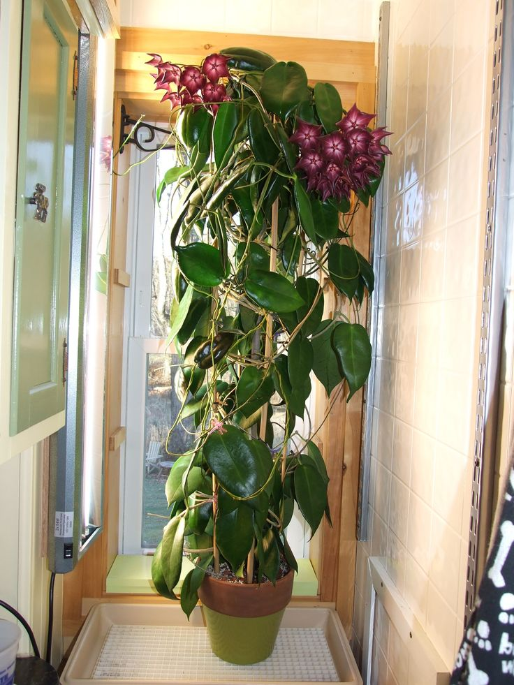 if you have space this stunning large hoya with huge night fragrant flowers might be for you not an easy hoya to grow in cold climates