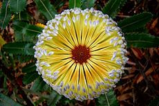 Banksia - Australian wildflower Heavy producers of nectar, banksias are a vital part of the food chain in the Australian bush. They are an important food source for birds, bats, rats, possums, and bees.