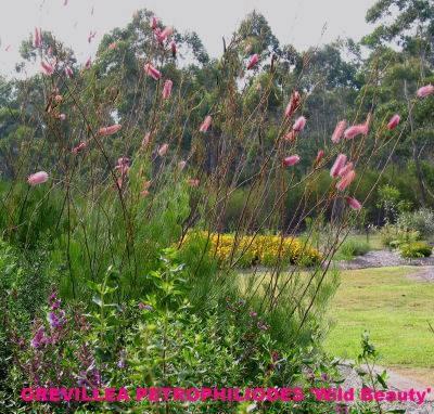 Grevillea petrophiloides  - for my native garden section