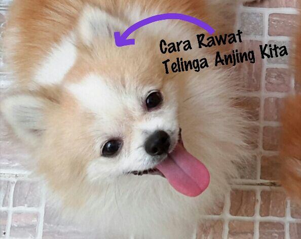 Cara Merawat Telinga Anjing Kita ~ Tips Info Cara