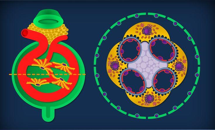 Apparato escretore 03:   Rene - Anatomia microscopica + Nefrone