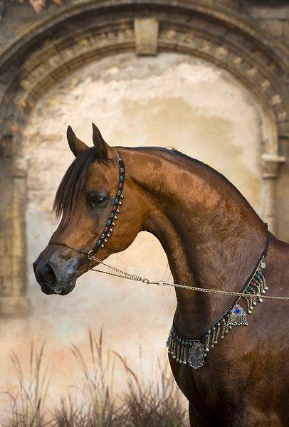 Senior Arabian stallion, Bey Shamal.