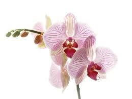 Orchideeën verzorgen op de vensterbank