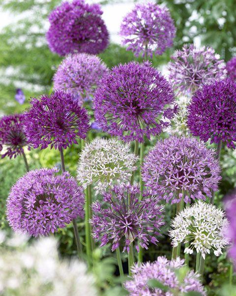 Allium Superglobe mixed