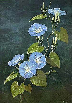 Antique print: picture of Heavenly Blue or Morning Glory (Pharbitis tricolor / Ipomoea rubro-caerulea) -