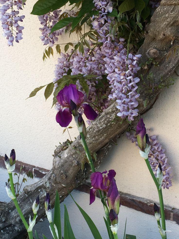 La Glycine violet avec les Lys de Mamise !