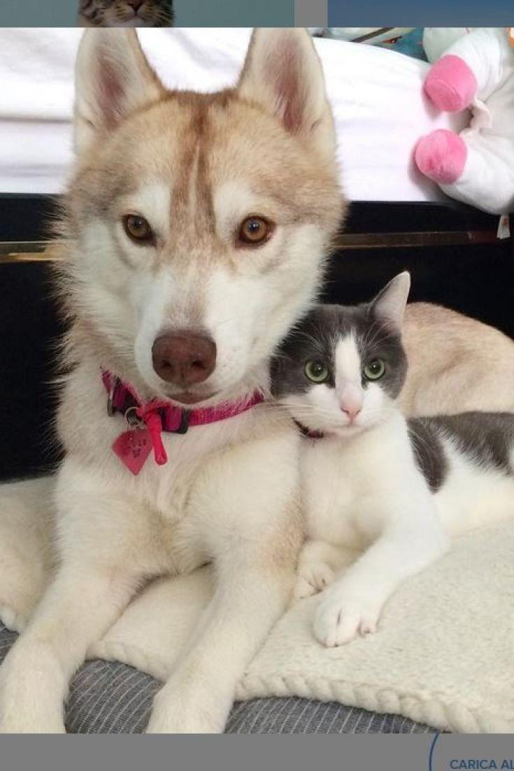 """La gattina Rosie, adottatata dalla """"mamma-cane"""" lhusky Lilo, che la allatta e la aiuta a crescere (FOTO)"""