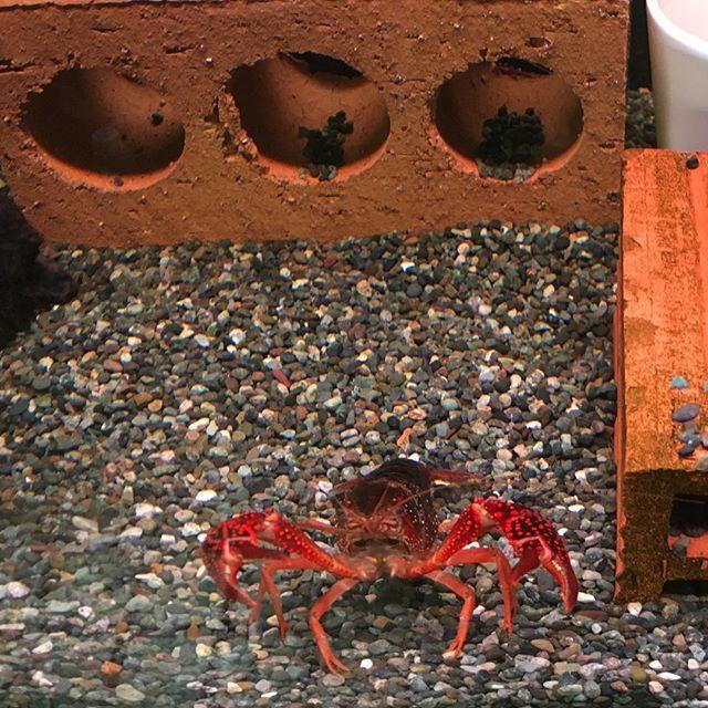 【enhance1】さんのInstagramをピンしています。 《本気でアメリカザリガニを飼って育成期間更新を目指しています。 飼育環境 90cm水槽、上部フィルター+投げ込み式フィルター、ろ材はリングろ材とサブプロ、貝殻。低床は大磯砂。生体は3匹。脱皮時は隔離。水換えは週に一度1/3程度。餌は2日に一度。人工餌で肉食魚の餌、プレコの餌、煮干しのローテーション。でも1年半を超えるのは難しい…。何がいけないのだろう、餌の種類を増やして落ち葉(クヌギ)を増やしてみようかな…。 #アメリカザリガニ #水槽 #アクアリウム》