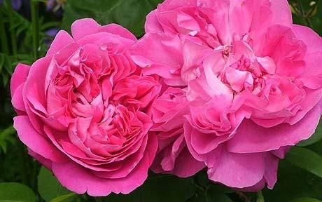 Paul Neyron - Bourbon 3 foot upright bush, very large blooms (6 inches across), more disease resistant than other members of the Hybrid Perpetual family. Photo: #Charles_Quest_Ritson #Paul_Neyron #Antique_Rose
