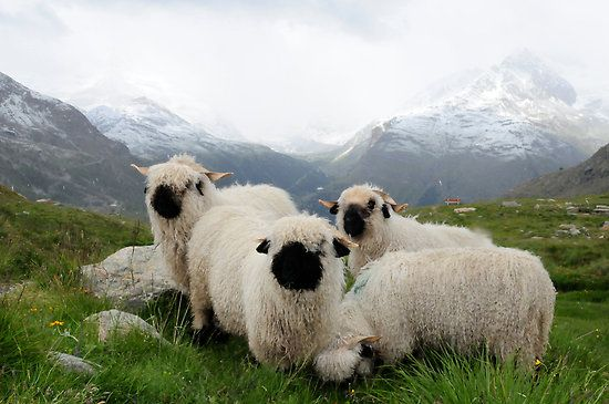 "BLACK NOSE SHEEP""  The Valais Blacknose (also known as: Wallis Blacknose, German: Walliser Schwarznasenschaf (Valaisian black nose sheep), Blacknosed Swiss, Visp, Visperschaf) is a breed of domestic sheep originating in the Valais region."