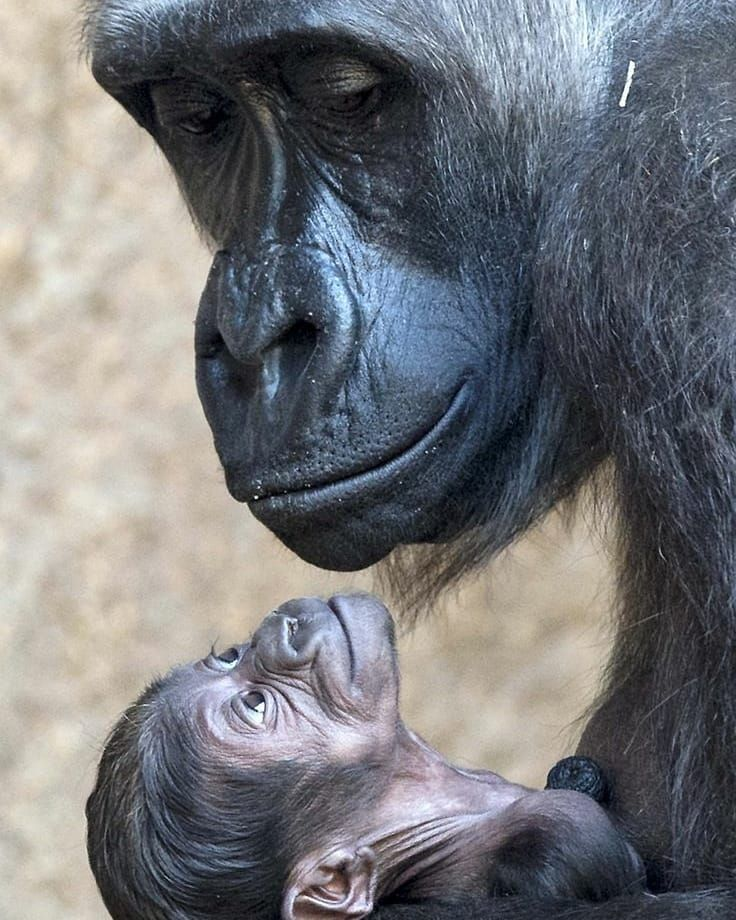 """1,033 Likes, 21 Comments - Gorilla Lovers (@gorilla_lovers) on Instagram: """"- Mama & Baby Credit to from jolenert on Pinterest ♥ Love to TAG? Please do❗ ☺️ Shop our great…"""""""