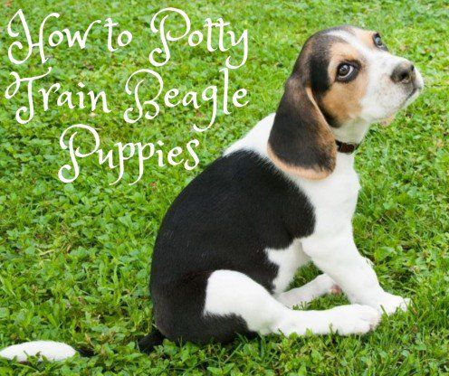 How To Potty Train A Beagle Puppy Beagle Puppy Beagle Puppies