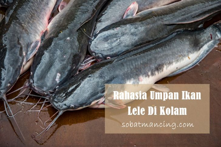 Rahasia Umpan Ikan Lele Di Kolam Paling Mantap Ikan Umpan Pancing Memancing