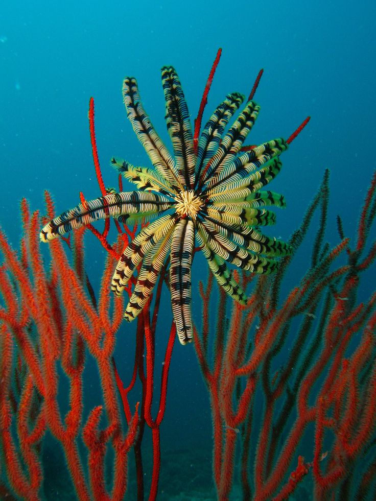 Giant feather star off Tioman Island, Malaysia