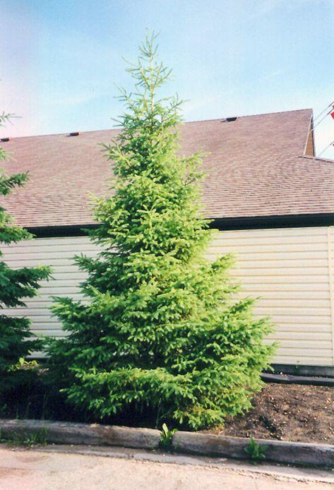 White Spruce (Picea Glauca) At Make It Green Garden Centre