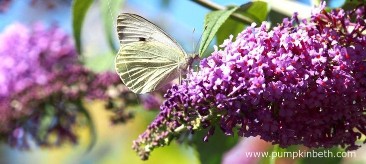 This is a Large White butterfly, also known by its scientific name of Pieris brassicae, it's feeding on Buddleja davidii. The Large White butterfly, is…