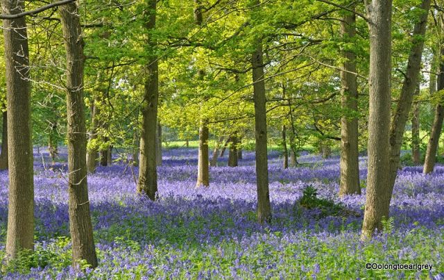 The woods near Henley on Thames came alive in May with seas of bluebells