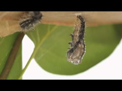Caterpillar to Butterfly: little boy explains life cycle and uses beautiful videography