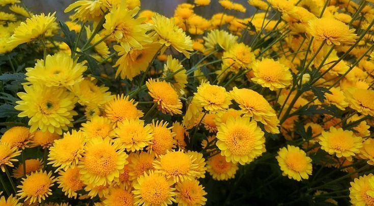 Yellow Kuning Krisan Seruni Bunga Flowers Blooms Chrysanthemum Kebunbunga Flowergarden Malino Sulawesiselatan Southsulawesi He Resim
