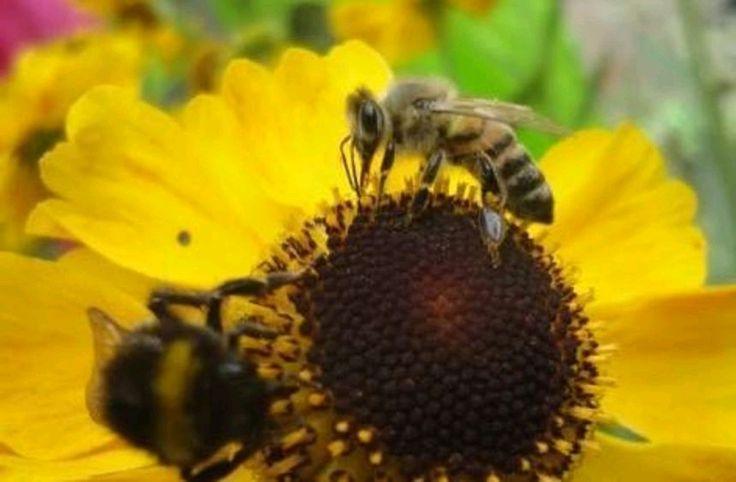 "Der ""Bienenprofessor"" gibt Antworten https://www.morgenweb.de/bergstraesser-anzeiger_artikel,-lorsch-der-bienenprofessor-gibt-antworten-_arid,1153066.html?utm_content=buffer62cc8&utm_medium=social&utm_source=pinterest.com&utm_campaign=buffer"