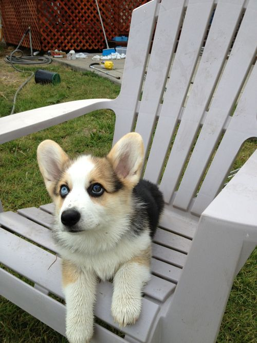 Corgi husky mix so cute!! @cheryl ng Terry Greenhill @Lori Bearden Bearden George