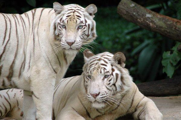 tygrysy-biale-samica-z-samc.jpg (600×399)