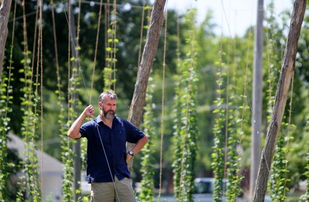 Growing hops for brewing beer in Illinois