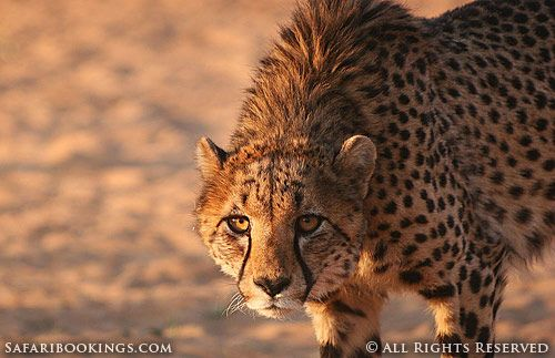 Cheetah (Etosha National Park, Namibia) - Namibia travel guide: http://www.safaribookings.com/namibia