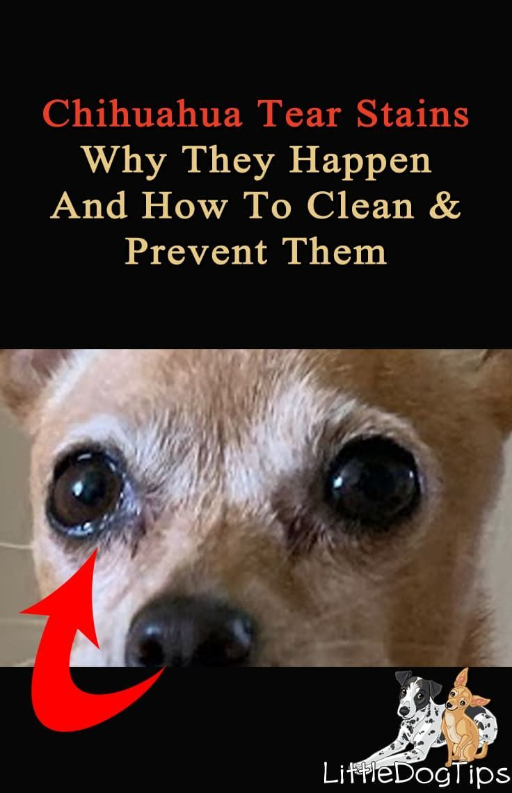 Chihuahua tear stains how to clean and prevent stains