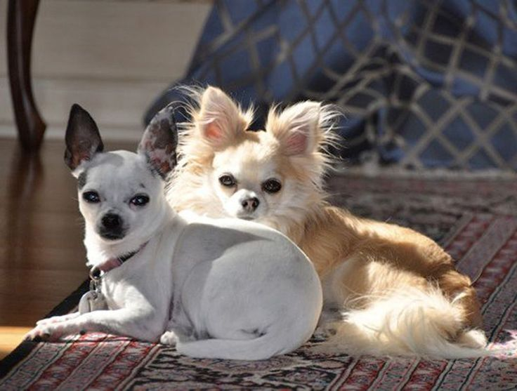 Long and short hair Chihuahuas sit next to each other. #Chihuahua