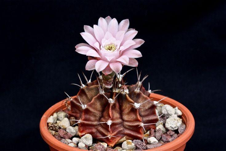 gymnocalycium mihanovichii cv. nishiki