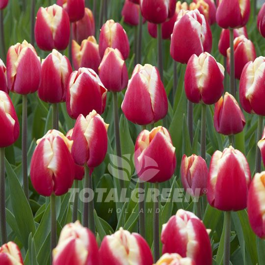 A very showy tulip on your landscaping. It's large red flower with a pure white band around its edges will illuminate your landscape. Variety Triumph Tulip Flower Period Mid Spring Flowering Height 16