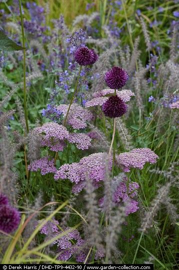Achillea, Allium and grasses along paddock fence line