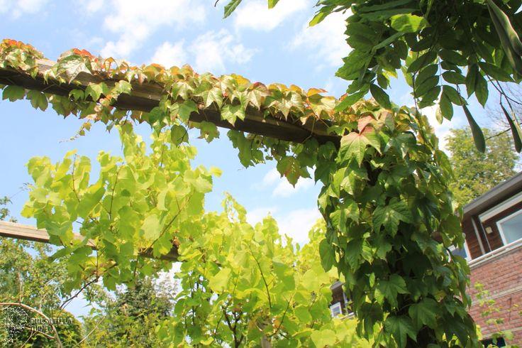 Pergola met klimplant wingerd google zoeken tuin pinterest zoeken google en tuin - Pergola klimplant ...