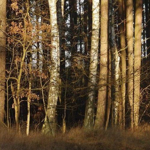 Las w Baninie
