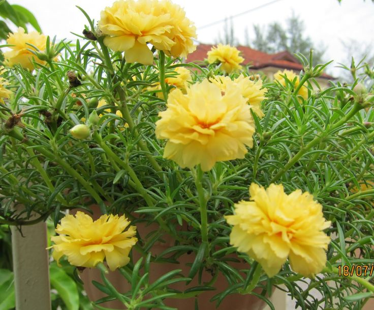 Shades of Grey: Portulaca grandiflora                                                                                                                                                                                 More
