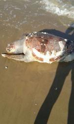 Molise: #Nuova #carcassa di #tartaruga trovata sulla spiaggia del litorale nord (link: http://ift.tt/2dJPIzw )