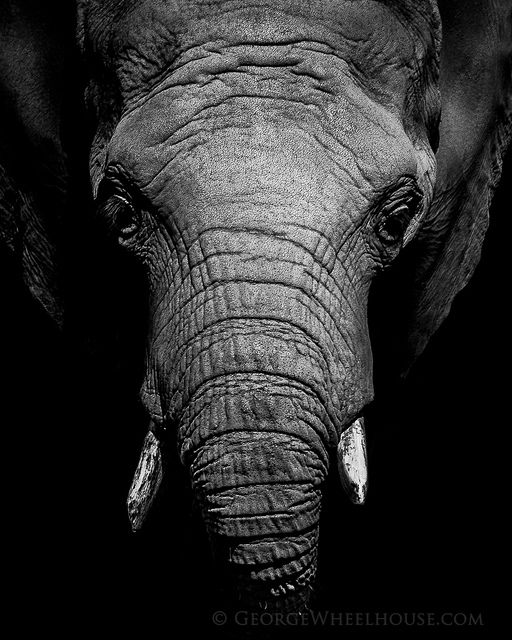 African Elephant Portrait by Old-Man-George