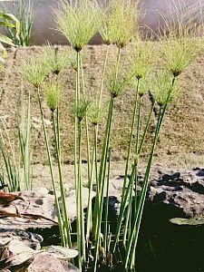Cyperus giganteus - Papiro-brasileiro - O papiro-brasileiro é uma excelente planta palustre, isto é, adapta-se e cria um efeito excelente na beira de laguinhos, fontes e espelhos de água. Ela apresenta hastes longas com uma cabeleira de folhas finas nas pontas. As flores são pequenas, amarelas, discretas e não apresentam importância ornamental. Devem ser cultivadas a pleno sol, sempre na beira da água, em solo composto de terra de jardim e terra vegetal.