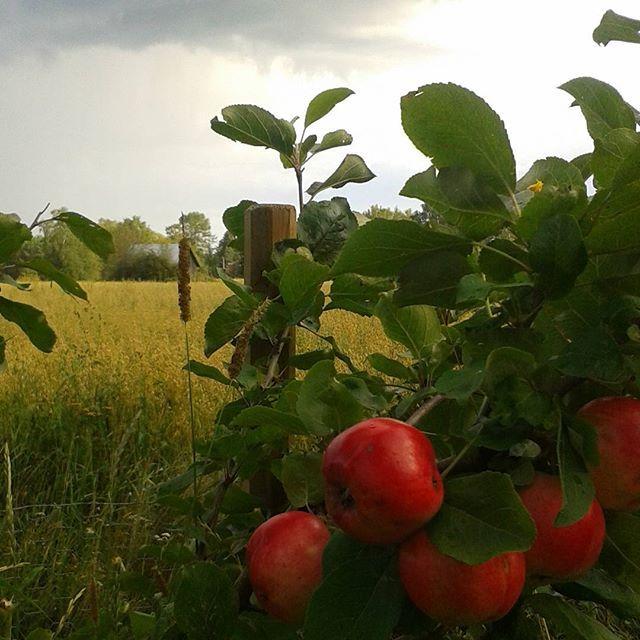 #vangituthetket #maalaismaisema #pilvi  #omenapuu #omenat  #pelto #vilja