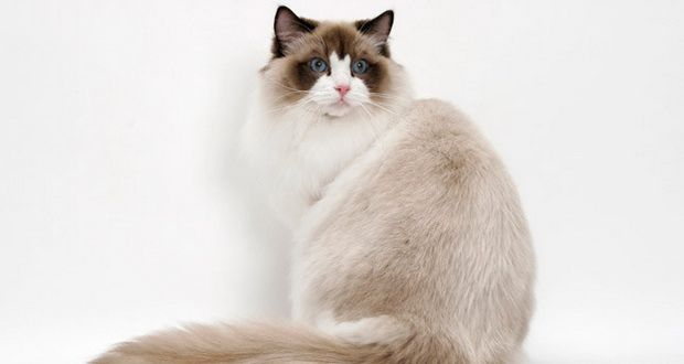 Kucing Ragdoll | Tazesiru Cat's House