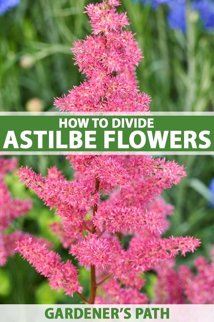 How To Propagate Astilbe Flowers Through Division Gardening For Beginners Astilbe Plants