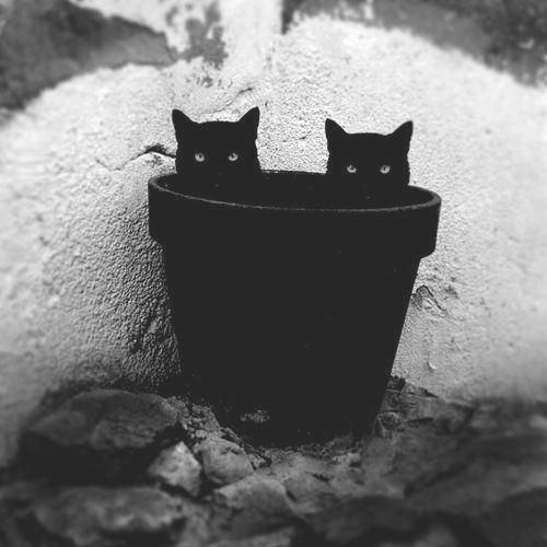 Grow a cat.....or two: Twin, Animals, Flower Pot, Chat Noir, Black Cats, White, Double Trouble, Blackcats, Kitty